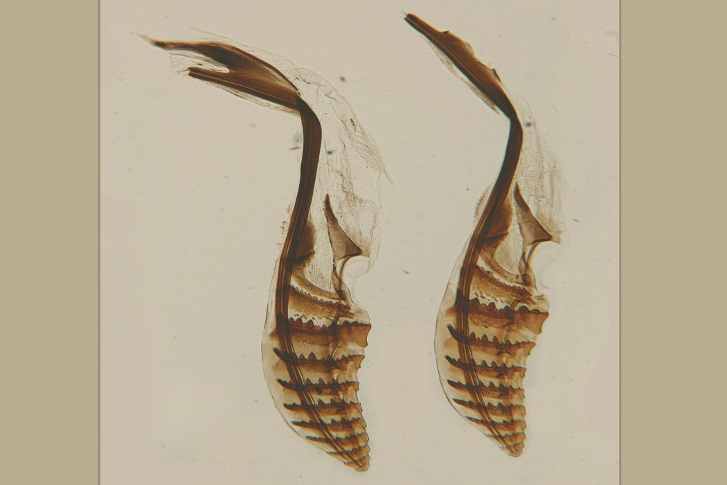 Meridian - Tuyeres, two beautifully drawn shells on a beige background