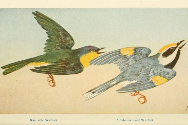 Tobias Fischer and Lara Cory (eds.) - Animal Music, drawing of Nashville Warbler and Golden-winged Warbler