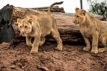 Sylvain Chauveau - Post-Everything, two lionesses in front of a tree trunk lying flat on the ground.
