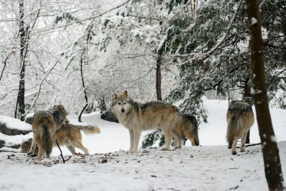 Sarah Hennies - Everything Else, a pack of wolves in a snowy forest
