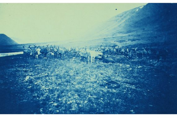 Insub Meta Orchestra - 13 and 27, cyanotype of a herd of reindeer.